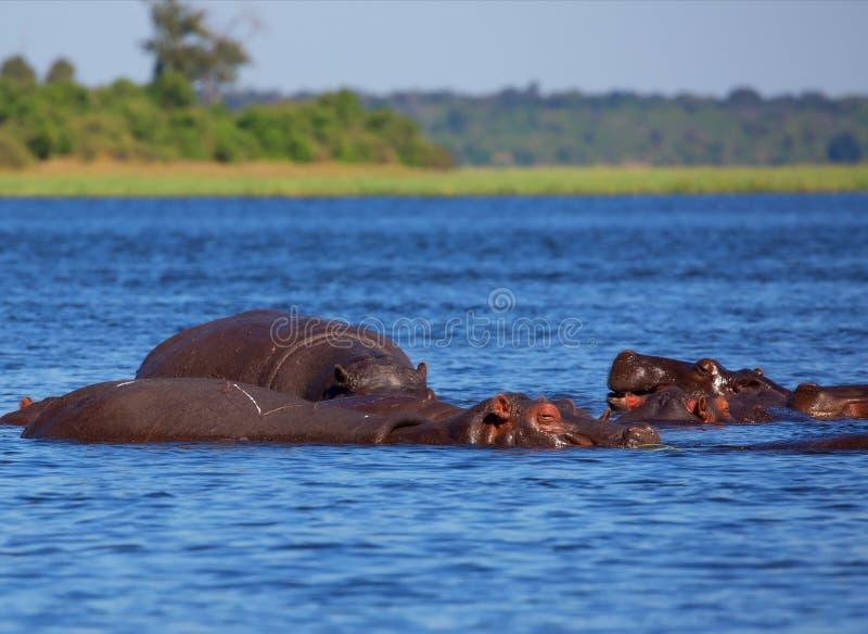 Kudde van hippos op een hete dag stock foto