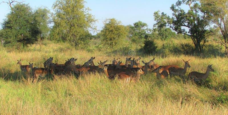 Kudde van impala's die tot een mooie halve cirkel in het gras leiden stock afbeelding