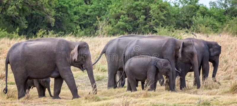 Kudde van Indische olifanten met jongelui stock afbeelding