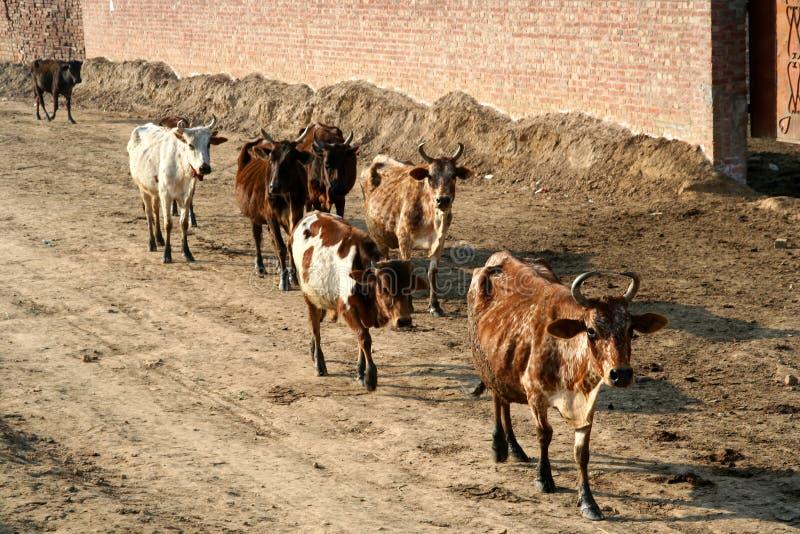 Kudde van koeien royalty-vrije stock fotografie