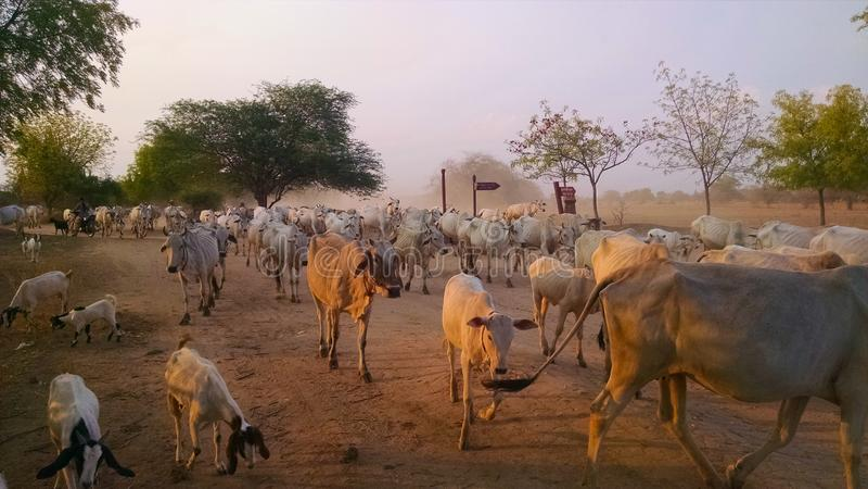 Kudde van Koeien in Birma stock afbeelding