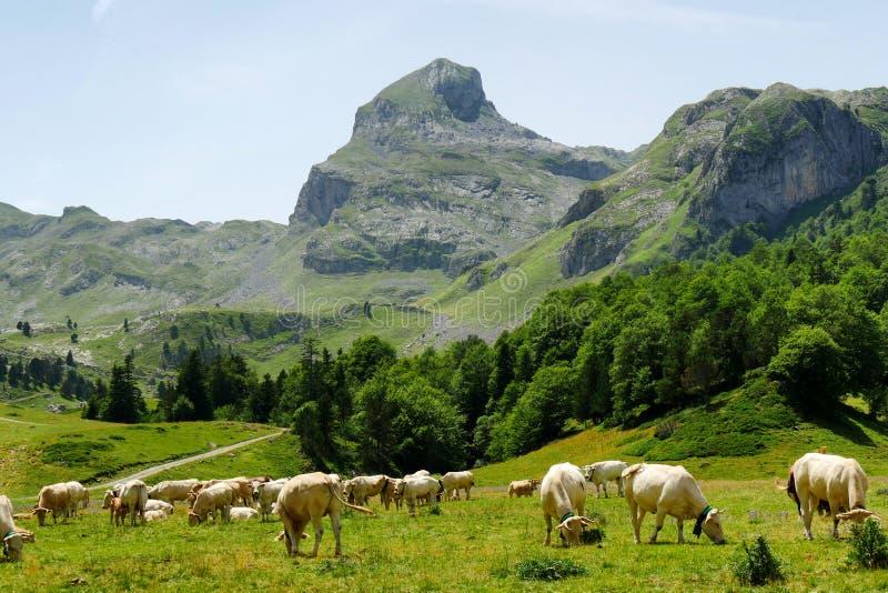 Kudde van koeien in de alpiene weilanden, Pic du Midi D ` Ossau bij stock afbeeldingen