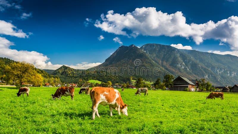Kudde van koeien die in Alpen weiden royalty-vrije stock foto