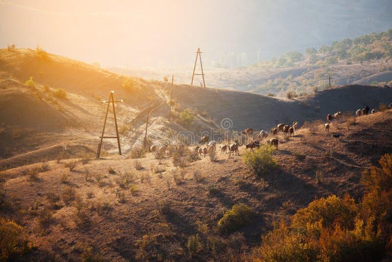 Kudde van koeien die in de bergen weiden stock foto