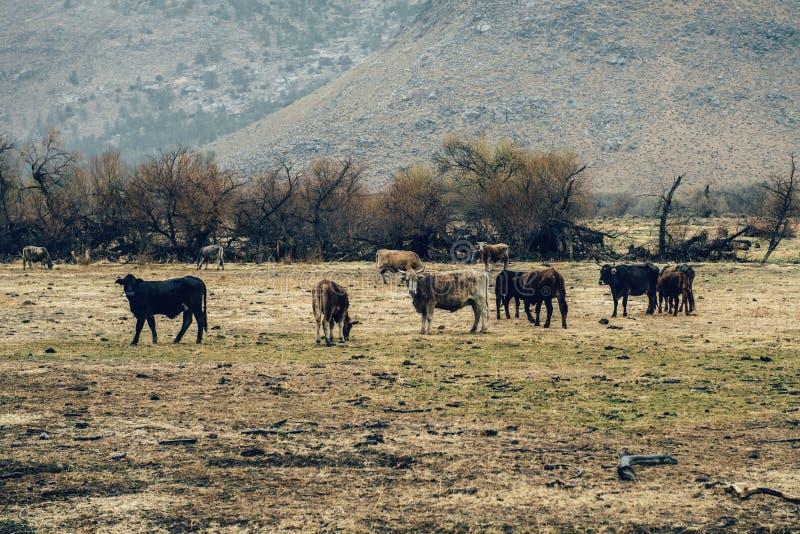 Kudde van koeien die in een weide in de bergen weiden Vreedzaam landelijk aardlandschap bij regenachtige dag met mist royalty-vrije stock afbeelding