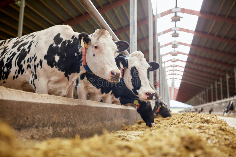 Kudde van koeien die hooi in koeiestal op melkveehouderij eten royalty-vrije stock foto
