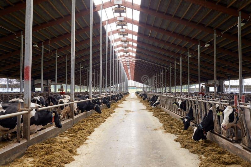 Kudde van koeien die hooi in koeiestal op melkveehouderij eten stock foto