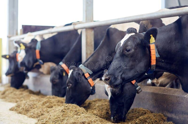 Kudde van koeien die hooi in koeiestal op melkveehouderij eten royalty-vrije stock foto's