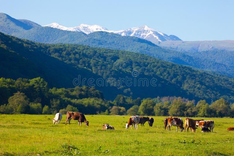 Kudde van koeien het weiden stock foto