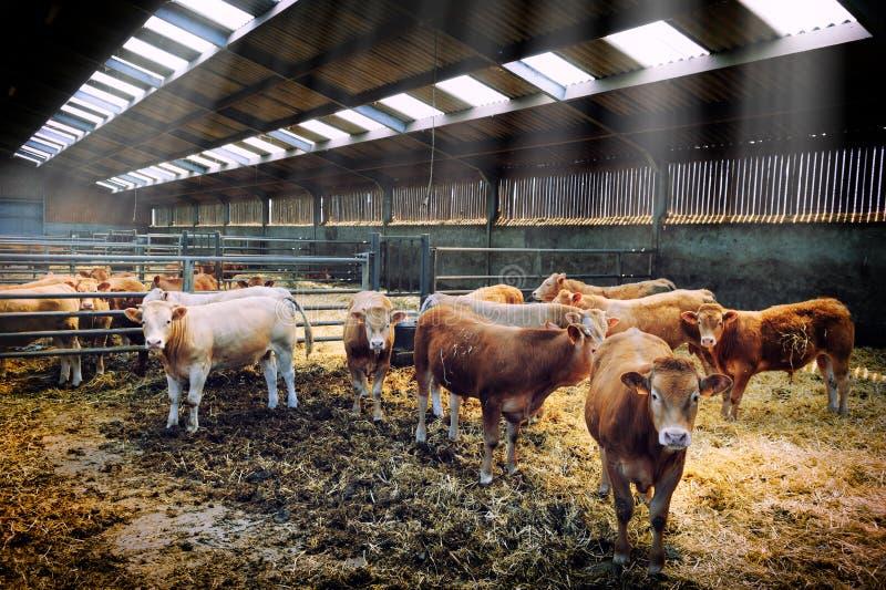 Kudde van koeien in koeiestal stock foto