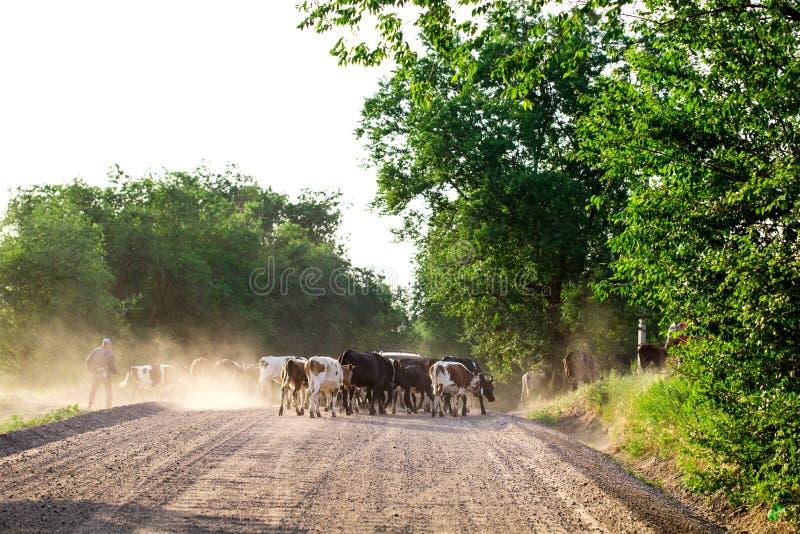 Kudde van koeien met cowherd op de landweg royalty-vrije stock afbeeldingen