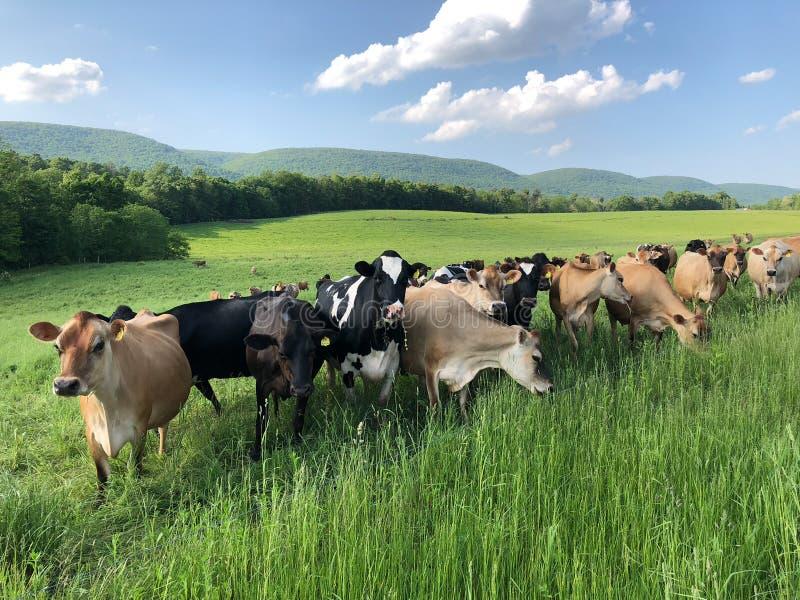 Kudde van koeien op gebied die nieuwsgierig en voor hun beeld stellen royalty-vrije stock fotografie