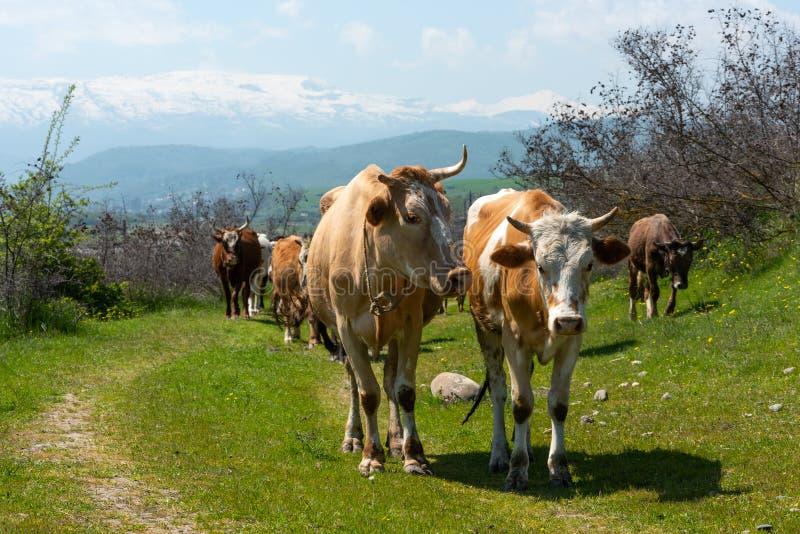 Kudde van koeienclose-up stock foto