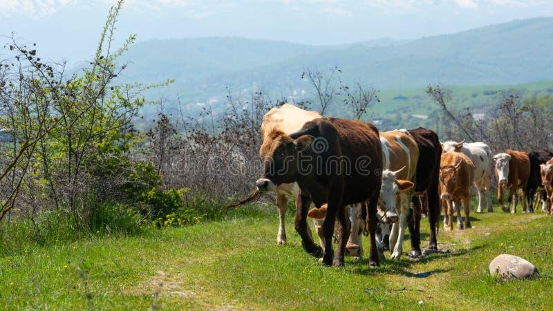 Kudde van koeienclose-up stock fotografie