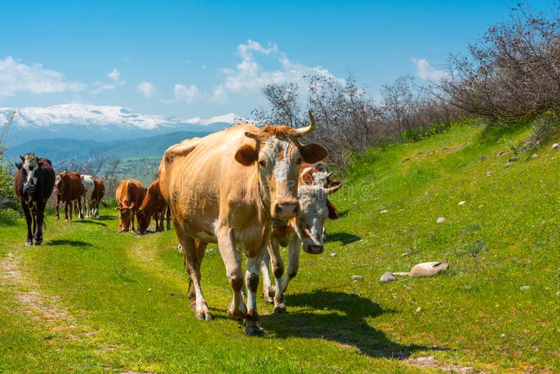Kudde van koeienclose-up stock afbeeldingen