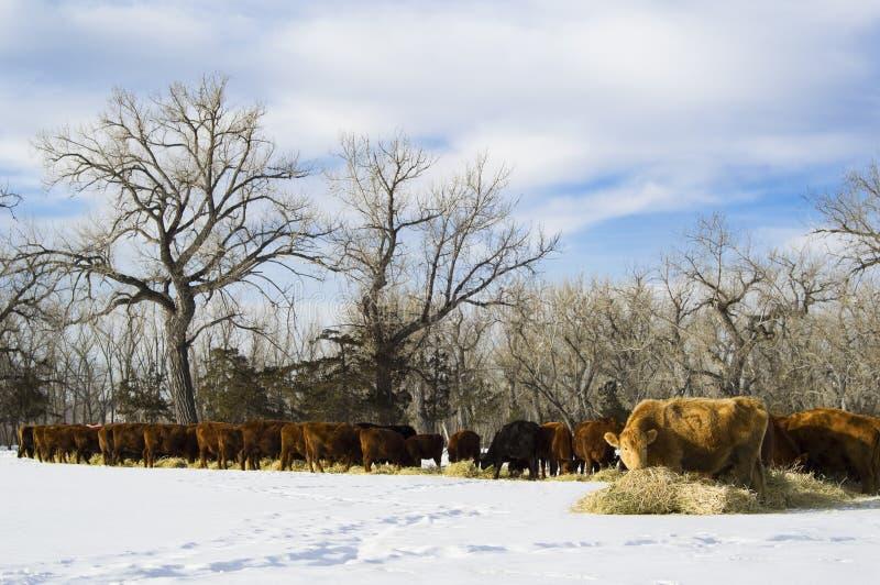 Kudde van koeienvoer op hooi tijdens de winter royalty-vrije stock fotografie