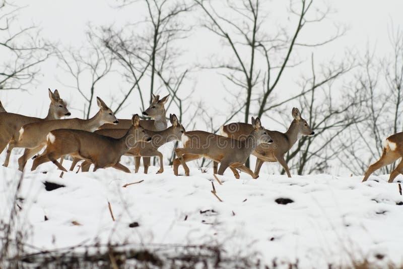 Kudde van kuitendeers in een donkere de winterdag royalty-vrije stock foto's