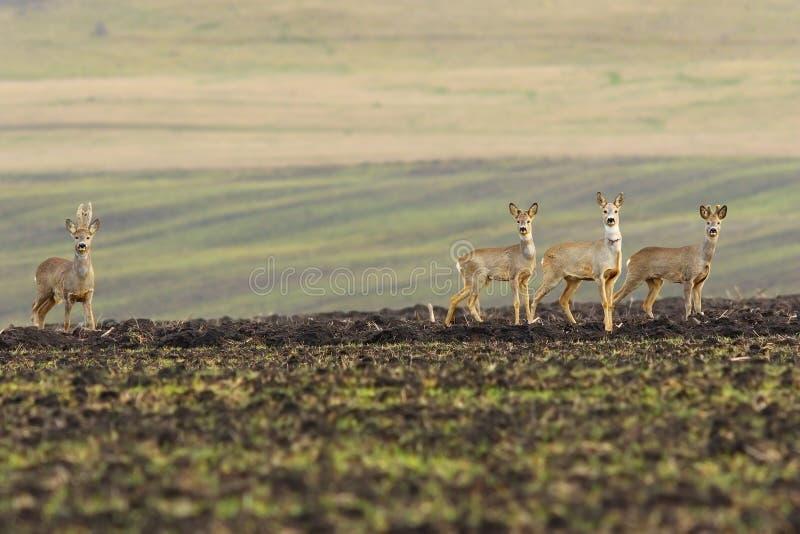 Kudde van kuitendeers op landbouwgebied stock fotografie