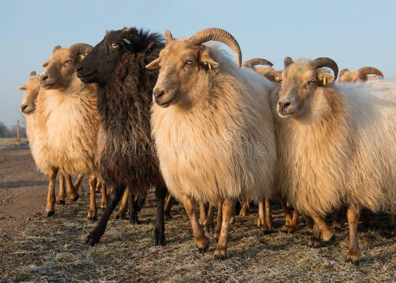 Kudde van landelijke schapen diverse wit en één zwart schaap stock foto's