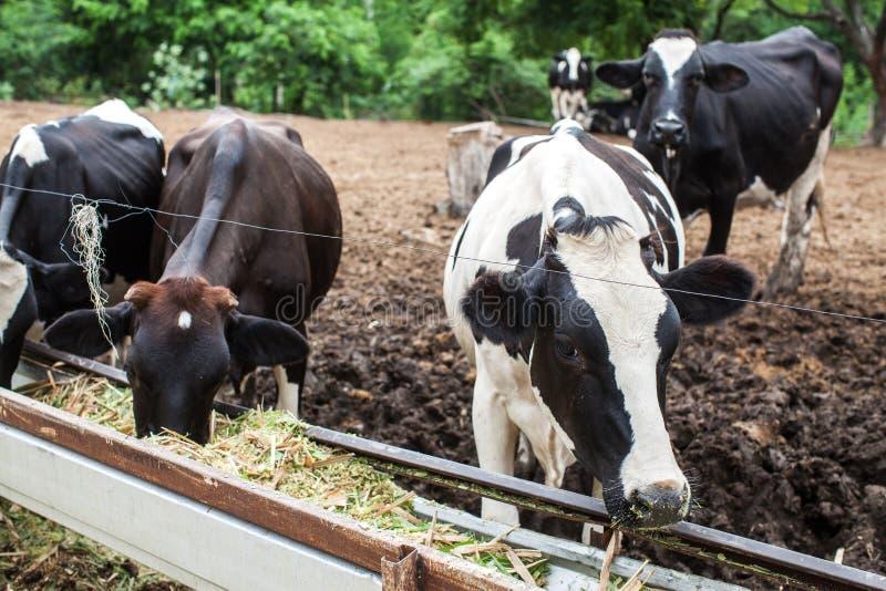 Kudde van melkkoe op het landbouwbedrijf royalty-vrije stock foto