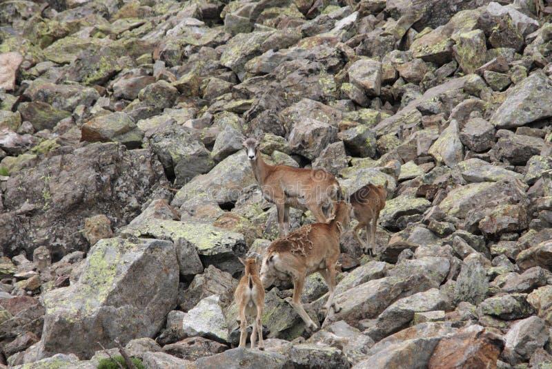 Kudde van Mouflons in de Pyreneeën royalty-vrije stock afbeeldingen