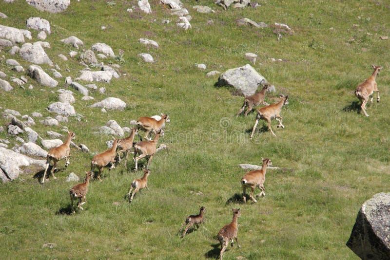 Kudde van Mouflons in de Pyreneeën stock foto's