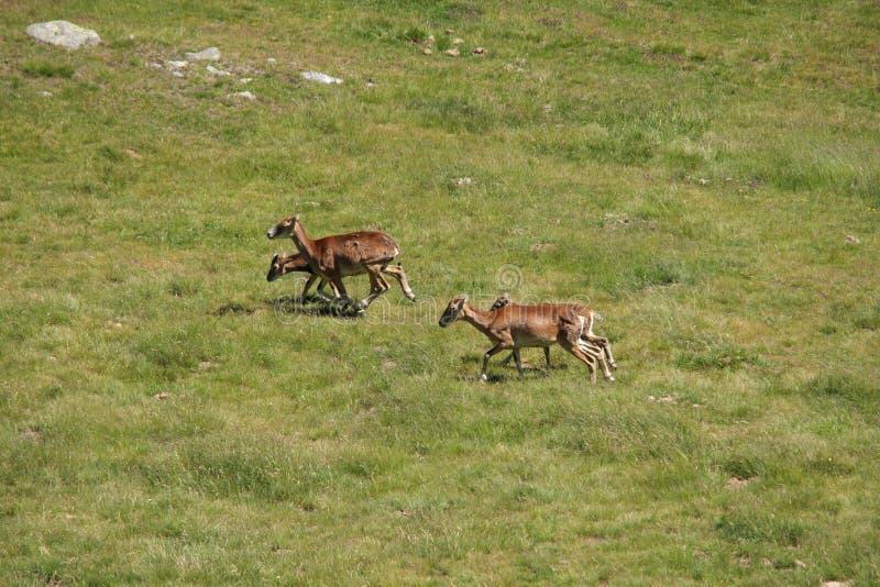 Kudde van Mouflons in weide royalty-vrije stock foto's