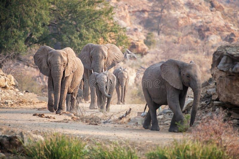 Kudde van olifanten royalty-vrije stock foto