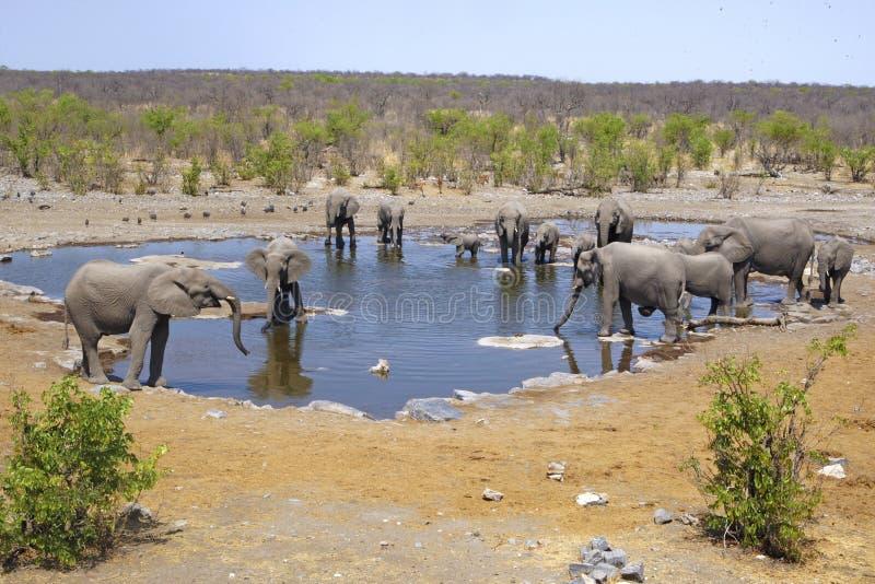 Kudde van olifanten bij een waterhole in Etosha stock fotografie
