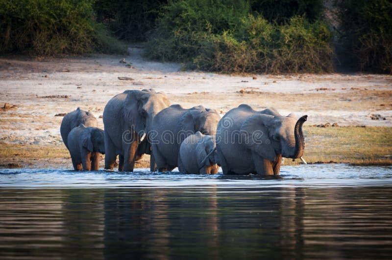 Kudde van olifanten die de Chobe-Rivier, het Nationale Park van Chobe, in Botswana kruisen royalty-vrije stock foto