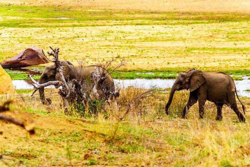 Kudde van Olifanten die uit de Letaba-Rivier komen om in het bos van het Nationale Park van Kruger terug te gaan stock foto