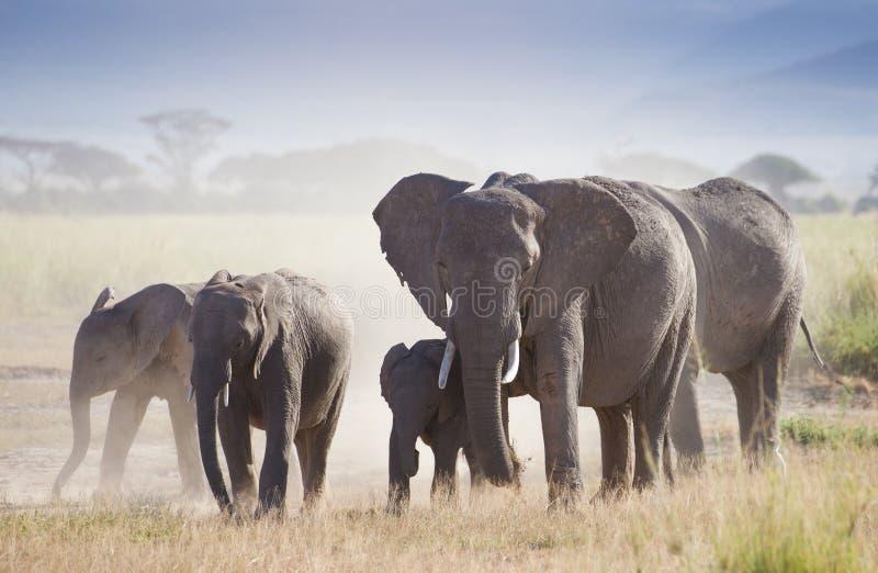 Kudde van olifanten in het Nationale Park van Amboseli stock fotografie