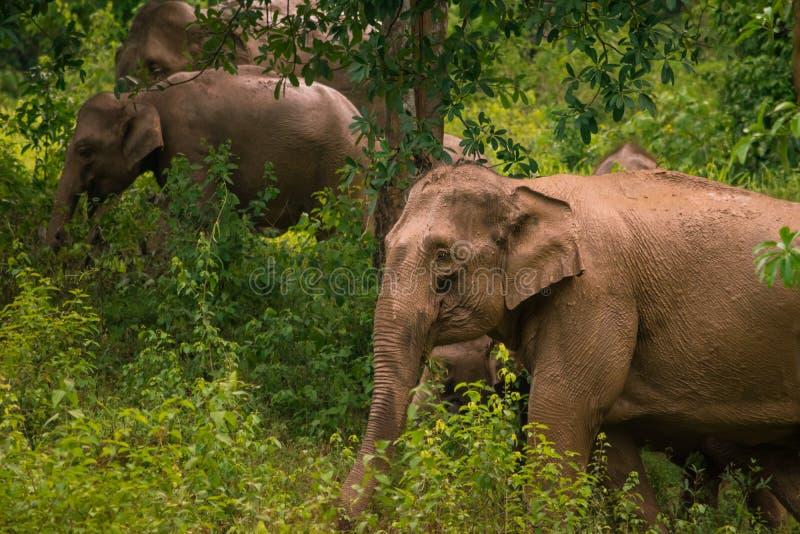 Kudde van olifanten in het Nationale Park van Kui Buri, Thailand royalty-vrije stock afbeeldingen