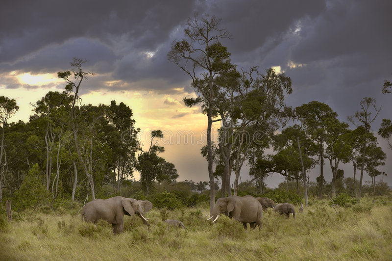 Kudde van olifanten in schemering stock afbeeldingen