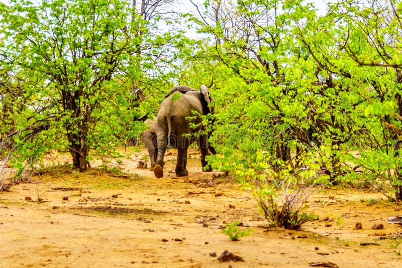 Kudde van Olifantenrubriek terug in het bos van het Nationale Park van Kruger stock foto