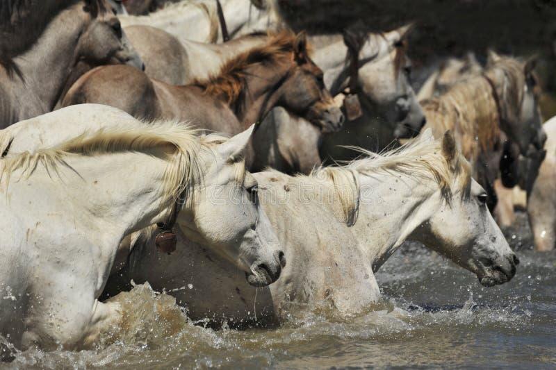 Kudde van paarden Camargue stock fotografie