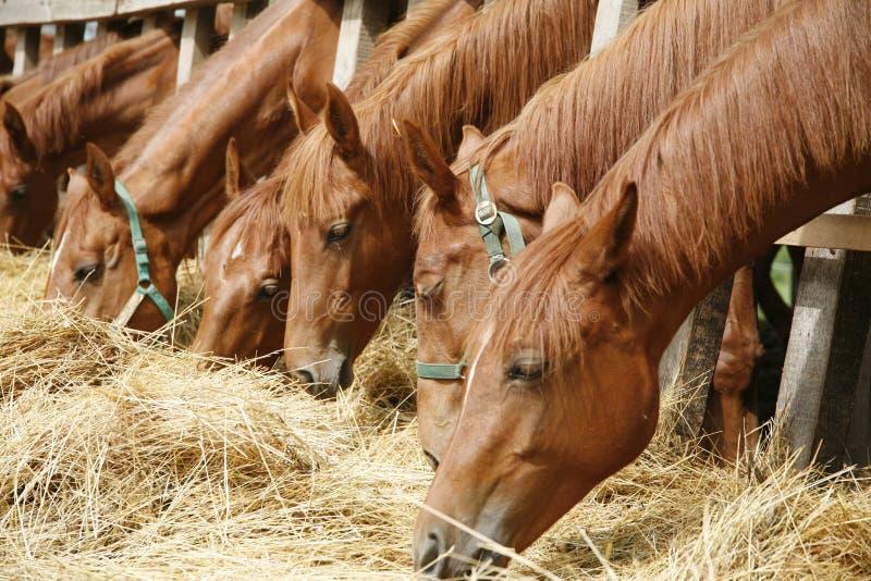 Kudde van paarden die droog hooi in zomer landelijke scène eten stock foto's