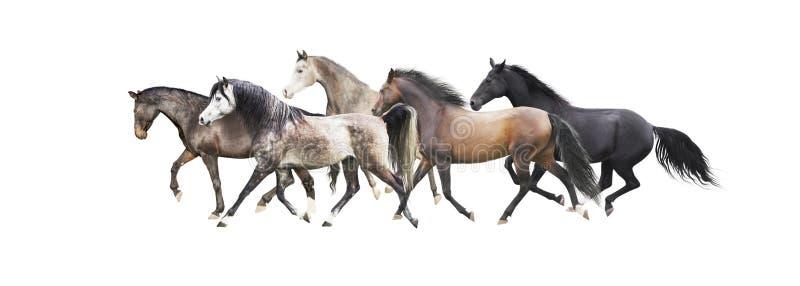 Kudde van paarden die lopen die, op wit wordt geïsoleerd stock foto's
