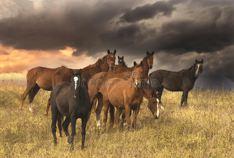 Kudde van paarden op avondgebied royalty-vrije stock afbeeldingen