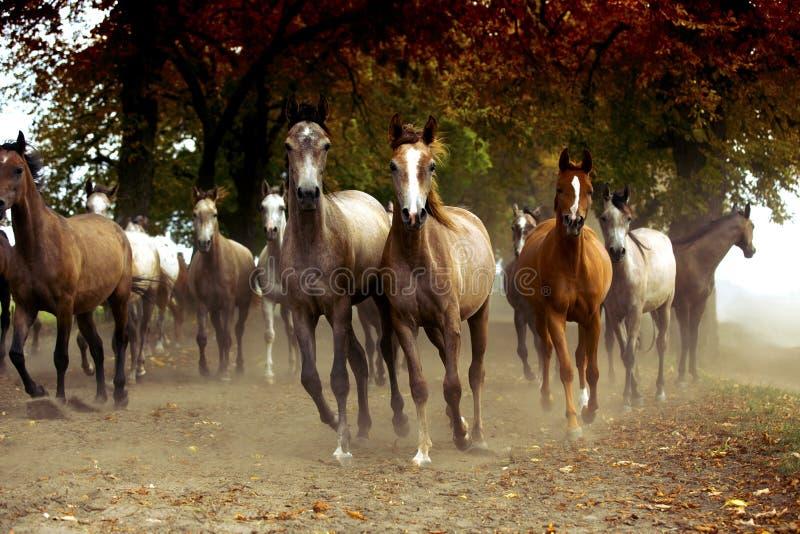 Kudde van paarden op de dorpsweg royalty-vrije stock foto