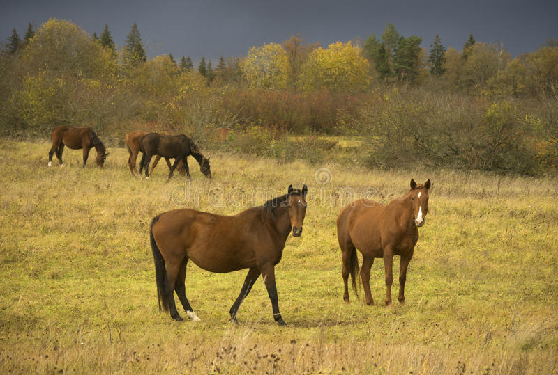Kudde van paarden op een gebied, Litouwen stock foto