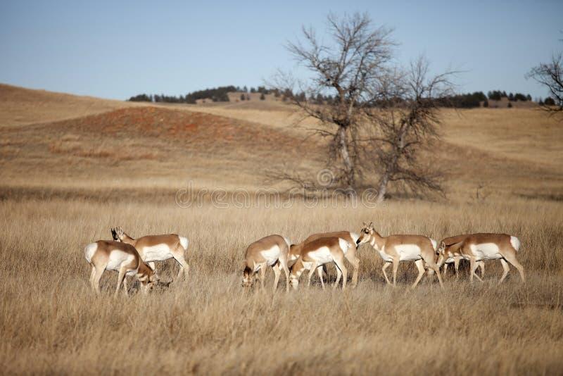 Kudde van pronghornantilope stock foto