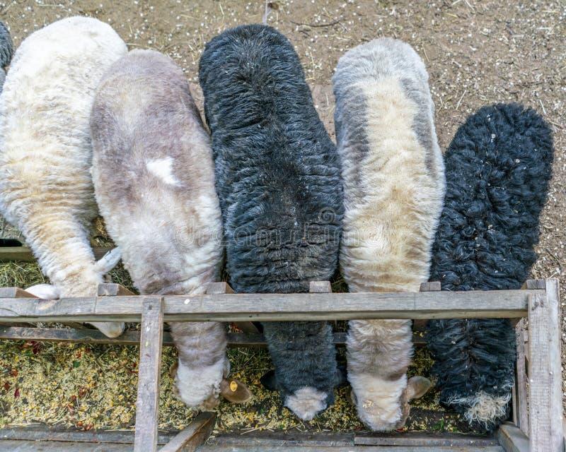 kudde van rammen of schapen met wol worden behandeld die hooi achter de omheining in de dierentuinen eten die royalty-vrije stock afbeelding