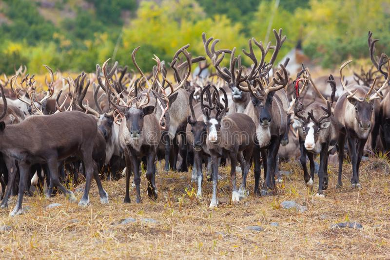 Kudde van rendier in de toendra in de herfst In de voorgrond een mooi herten volledig gezicht stock foto's