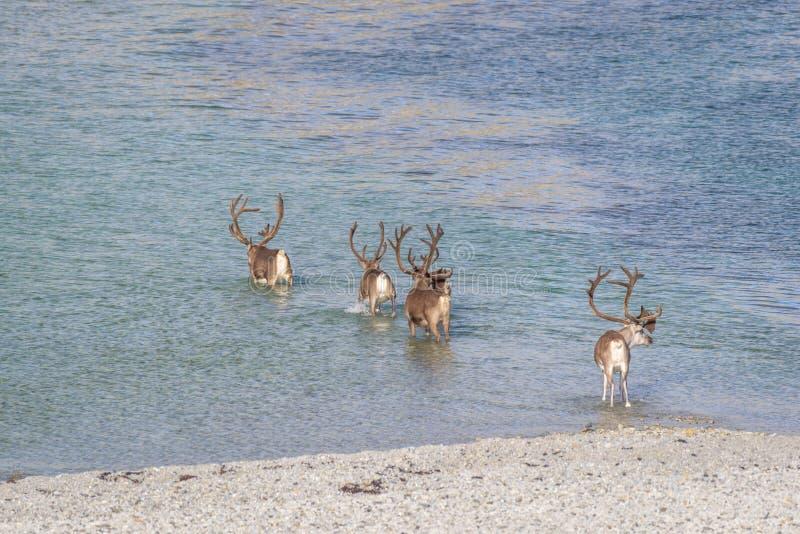 Kudde van rendier die water in Noordpoolnoorwegen kruisen stock afbeelding