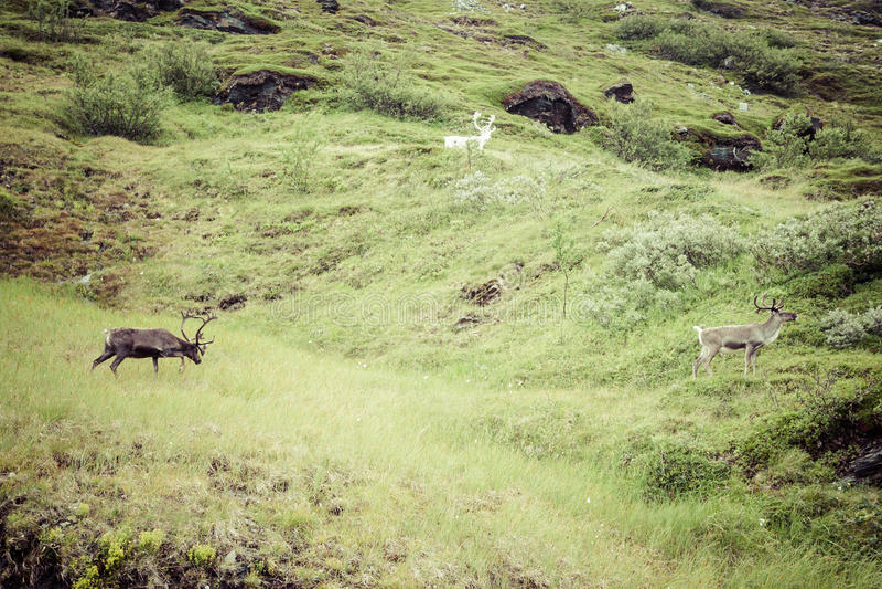 Kudde van rendier in Noorwegen royalty-vrije stock foto