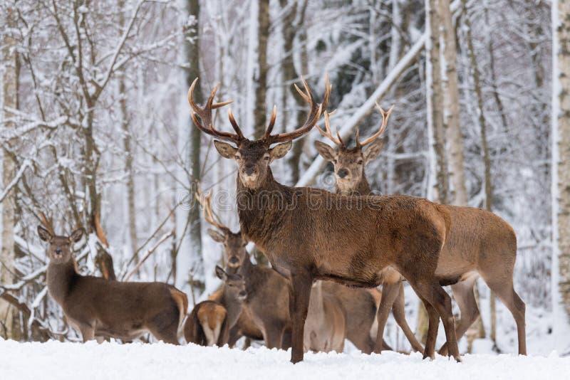 Kudde van Rood Hertenmannetje in de Winter Het Landschap van het de winterwild met Kudde van Herten Cervus Elaphus De herten met  stock afbeeldingen