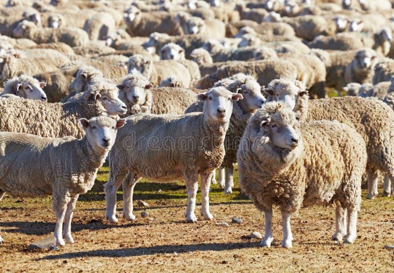 Kudde van schapen stock foto's