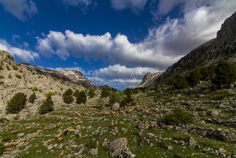 Kudde van schapen in de berg royalty-vrije stock afbeelding