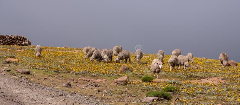 Kudde van schapen in de heuvels dichtbij de stad van Mokhotlong in Noordoostelijk Lesotho, Afrika stock foto